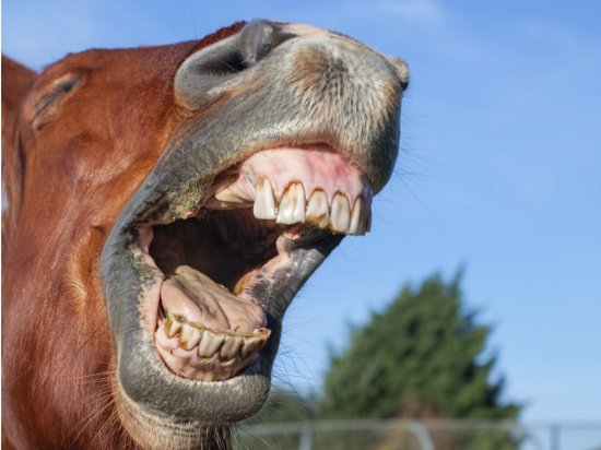 horse-laughing-funny-animal-meme-image-of-a-horse-neighing-picture-id918525024