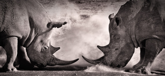 fight, a confrontation between two white rhino