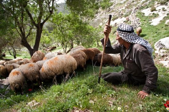 Palestinian shepherd